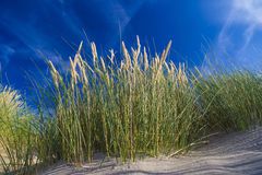 Dunes at De Haan, Belgian north sea coast against blue skyline Royalty Free Stock Image