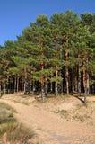 Dunes de pin Saulkrasti, mer baltique, Lettonie photographie stock libre de droits