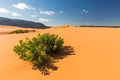 Dunes de sable roses de corail Images libres de droits
