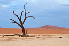 Dunes in the Desert. Of Namibia with lone tree stock photos