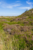 Dunes landscape with blooming heather Stock Photos
