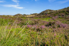 Dunes landscape with blooming heather Stock Photo