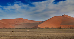 Dunes and oryx. Desert dunes with Oryx buck running past in foreground Stock Images