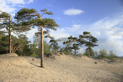 Dunes   . Dunes with pine trees Royalty Free Stock Image