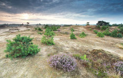 Dunes with pine trees and flowering heather. In summer Royalty Free Stock Photo