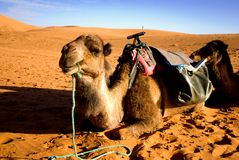 Dunes of Sahara and camel. Dunes of Sahara desert in Morocco and camel Royalty Free Stock Photo