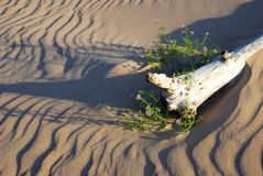 Dunes still-life. Single plant growth in the sand dunes Stock Photo