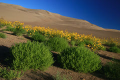 Dunes Sunflowers and Tumbleweeds Stock Photography