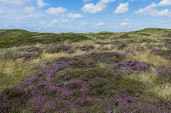 Dunes of Texel. Dunes, heather and grass in the National Park of the isle of Texel stock image