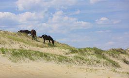 On the Dunes. Three wild horses on the dunes of a quiet beach, grazing at sparse green grasses. Sandy forefront. Blue skies with migrant, white clouds in the royalty free stock photo