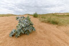 Free Dunes Vith Vegetation At The Atlantic Coast. Royalty Free Stock Image - 199058006