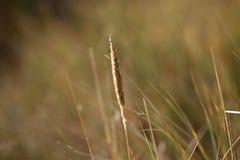 dunesgrass крупного плана Стоковые Фотографии RF