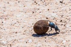 dung жука Стоковая Фотография RF