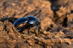 Free Dung Beatle And Manure Royalty Free Stock Photography - 163482937