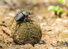 Dung Beatle Flies royalty free stock image