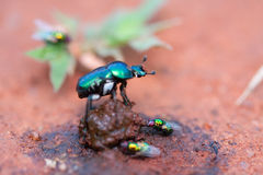Free Dung Beetle Stock Photo - 14767190
