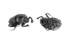 Dung beetle Royalty Free Stock Photo