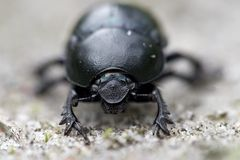 Dung beetle. Close up recording of a dung beetle in the nature area de Veluwe in Netherlands Royalty Free Stock Photos