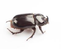 Dung beetle Royalty Free Stock Photos