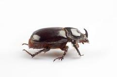 Dung beetle Stock Photos