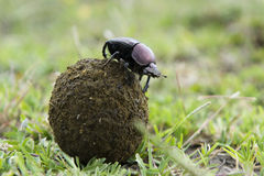 Dung Beetle photos stock