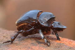 Dung beetle. Goliath dung beetle stock images