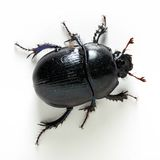 Dung-beetle. Closeup on white background Stock Photo