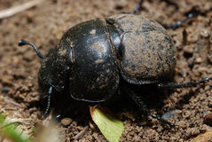 Dung-beetle Royalty Free Stock Photos