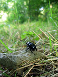 Dung beetle. In a glade Stock Image