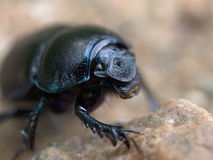 Dung beetle. Dung-beetle creeping along the ground Royalty Free Stock Photos