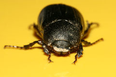 Dung beetle Royalty Free Stock Images