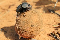 Dung Beetle, African Insect that Loves his Job Stock Photos