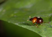 Free Dung Beetle And Mite Royalty Free Stock Photos - 10036998