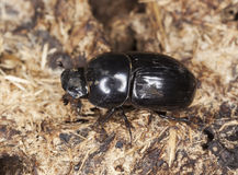 Dung beetle (Aphodius rufipes) Stock Images