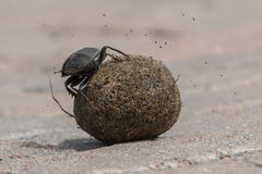 Dung beetle. On a ball of dung stock photos