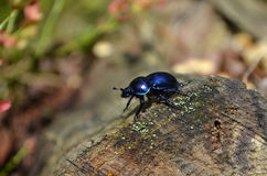 Dung Beetle Stock Images