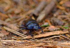 Dung-beetle Royalty Free Stock Images
