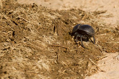 Free Dung Beetle Burrowing Into Some Elephant Dung Stock Photography - 97670352
