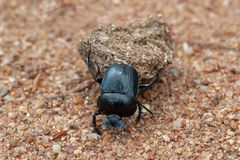 Free Dung Beetle Carry Stock Images - 161545084