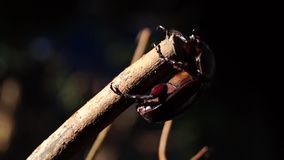 Dung beetle clings to a twig. Close up stock video footage