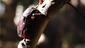 Dung beetle clings to a twig. Close up stock video