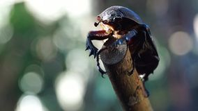 Dung Beetle Clings to a Twig. Close up stock footage