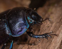 Dung Beetle. Close-up of a dung beetle Stock Images