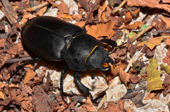 Dung Beetle Stock Image