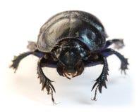 Dung-beetle closeup Royalty Free Stock Images