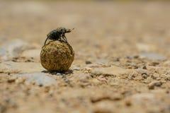 Dung Beetle, coléoptère photographie stock libre de droits