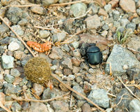 Dung Beetle with Dung Ball Royalty Free Stock Images