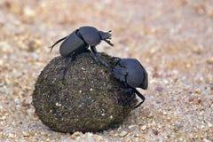 Dung Beetle Flightless (bacchus de Circellium) fotografia de stock