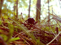 Dung beetle on forest litter Stock Photo