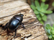 Dung beetle. Of genus Geotrupes in Montemerano, Tuscany stock photography